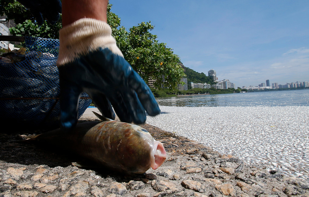 Description of . A municipal worker collects a dead fish at the Rodrigo de Freitas lagoon in Rio de Janeiro, March 13, 2013.   REUTERS/Sergio Moraes