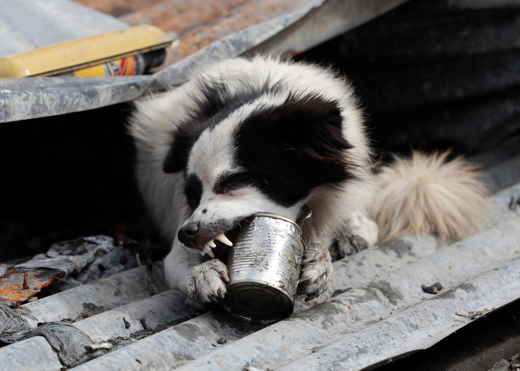 Description of . A dog takes a bite on an empty food can as it searches for food in typhoon-hit Tacloban city, Leyte province, central Philippines on Wednesday, Nov. 13, 2013. Typhoon Haiyan, one of the strongest storms on record, slammed into six central Philippine islands on Friday leaving a wide swath of destruction. (AP Photo/Aaron Favila)