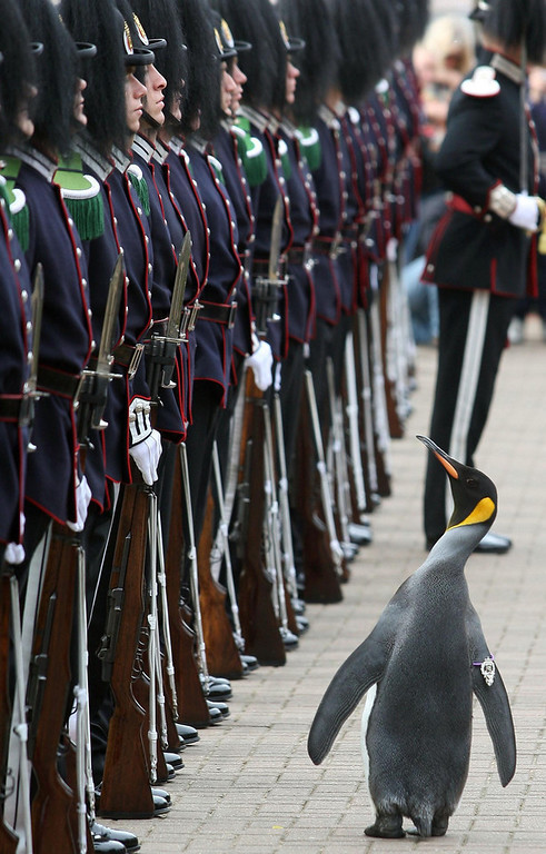 Description of . Nils Olav, an Edinburgh Zoo penguin and Colonel-in-Chief of the Norwegian King\'s Guard, an elite unit tasked with protecting the Norwegian royal family, inspects soldiers of his regiment as they visit him in Edinburgh, Scotland, Friday Aug. 15, 2008, where he was presented with a medal. The original Nils Olav first became an honorary member of the regiment in 1972, when a young lieutenant called Nils Egelien visited the penguins at the zoo, but died in the 1980s, and was replaced by the current Nils Olav.(AP Photo/David Cheskin-pa)