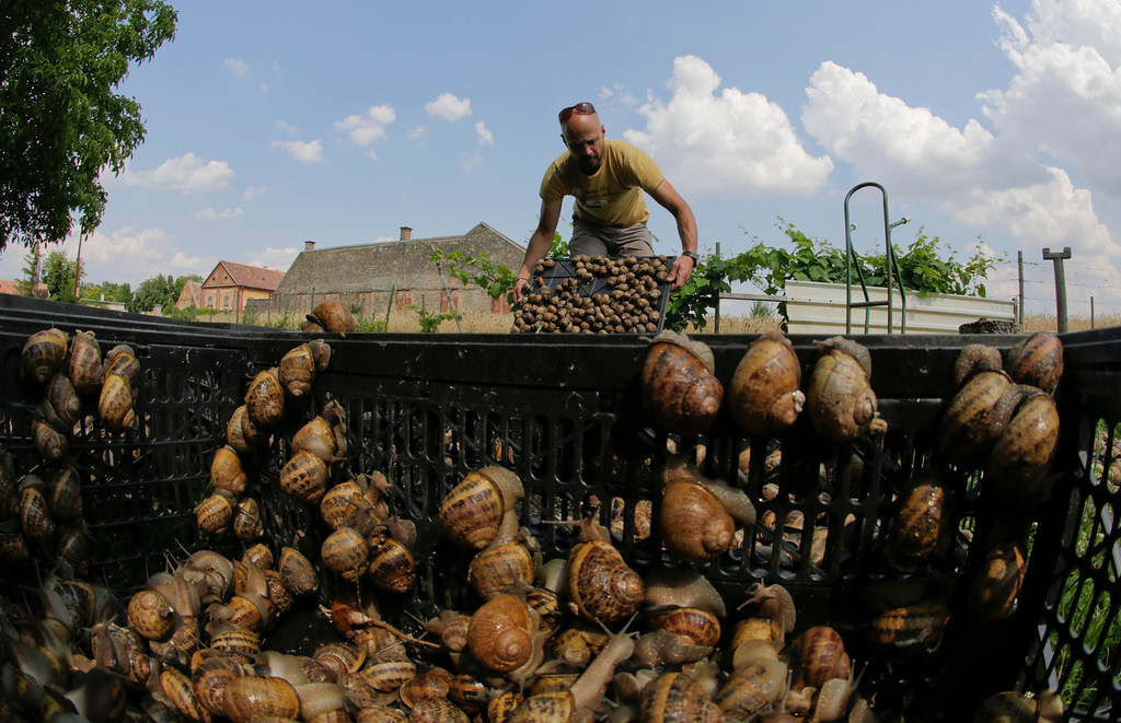 Description of . Austrian snail farmer Andreas Gugumuck collects snails (Helix Aspersa) in baskets in his farm in Vienna July 10, 2013. Andreas Gugumuck owns Vienna's largest snail farm, exporting snails, snail-caviar and snail-liver all over the world. The gourmet snails are processed using old traditional cooking techniques and some are sold locally to Austrian gourmet restaurants. Picture taken July 10, 2013.   REUTERS/Leonhard Foeger