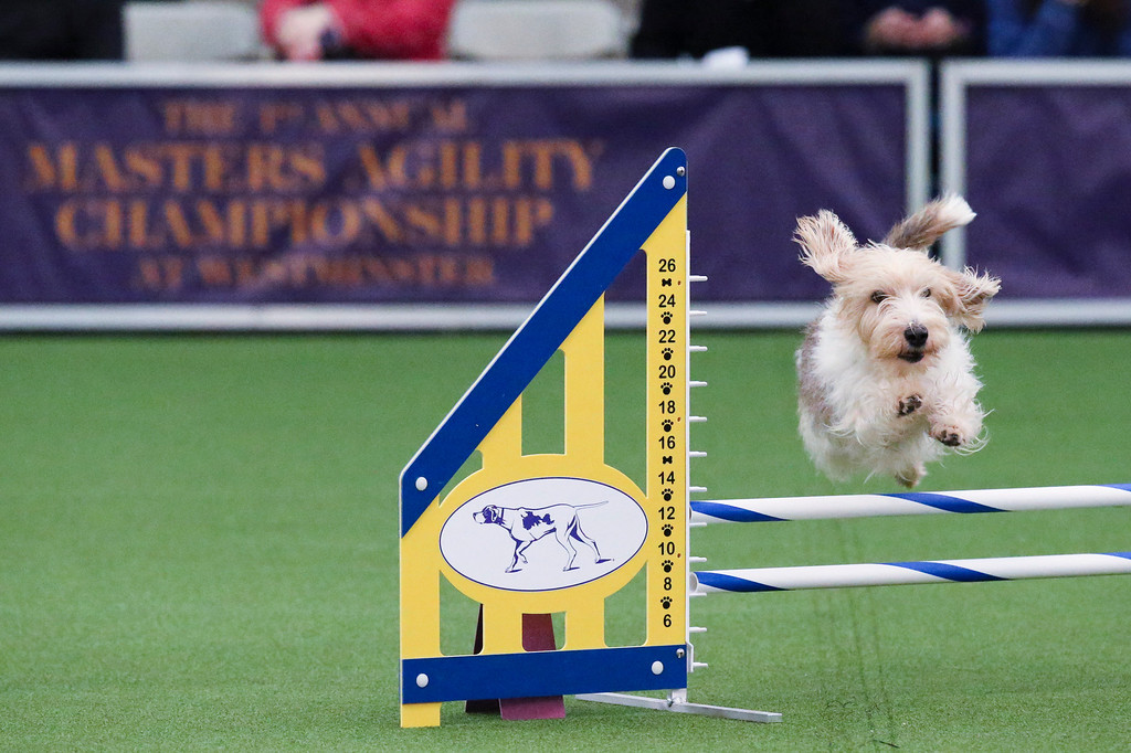 . Salsa the petit basset griffon vendeen takes a jump during the Masters Agility Championship at Westminster staged at Pier 94, Saturday, Feb. 8, 2014, in New York. The competition marks the first time mixed-breed dogs have appeared at Westminster. (AP Photo/John Minchillo)