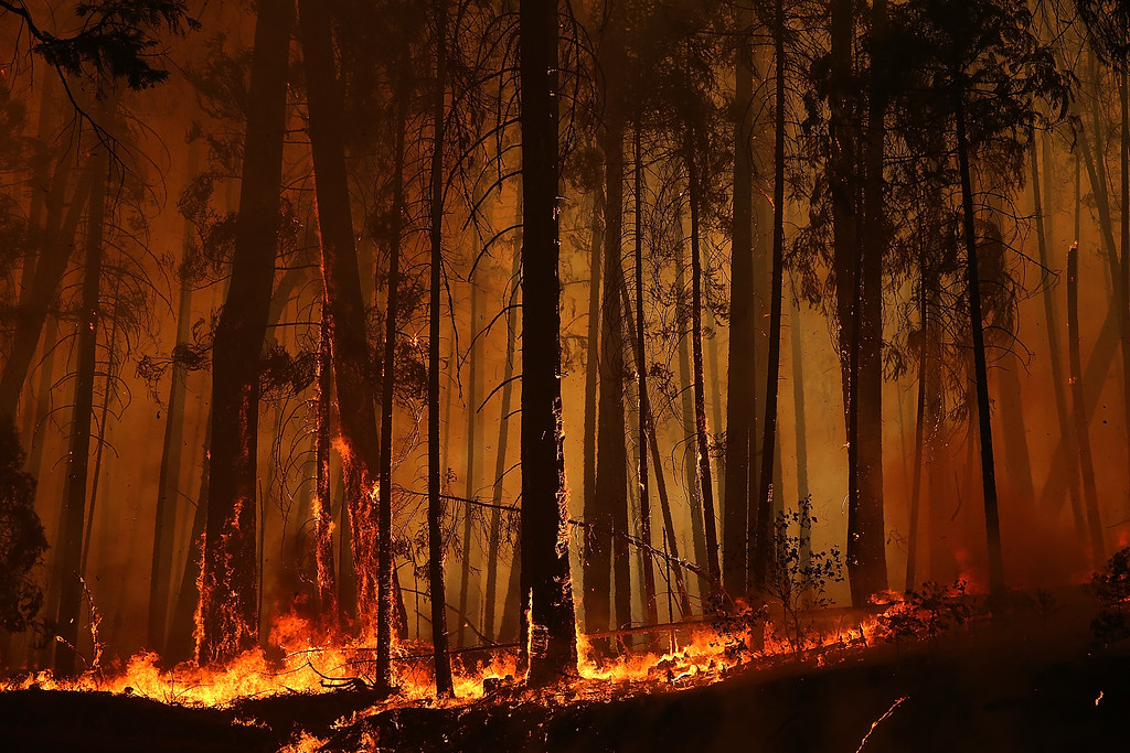 Description of . Flames from the Rim Fire consume trees on August 25, 2013 near Groveland, California.   (Photo by Justin Sullivan/Getty Images)