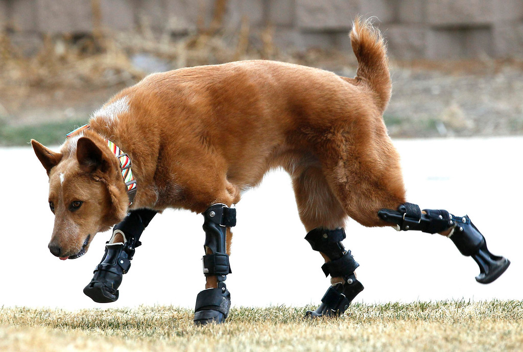 . Naki\'o, a mixed-breed dog with four prosthetic devices, goes for a run in Colorado Springs April 12, 2013. Naki\'o lost all four feet to frostbite when he was abandoned as a puppy in a foreclosed home. Picture taken April 12, 2013.   REUTERS/Rick Wilking (