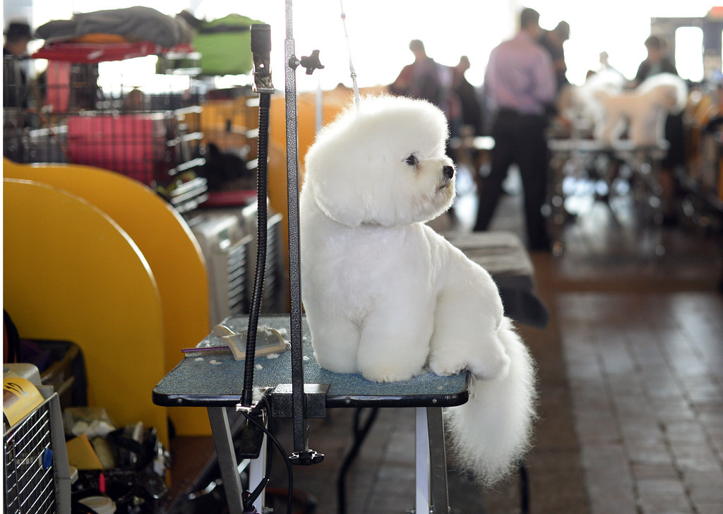 Description of . A Bichon Frises waits in the benching area for judging to start at Pier 92 and 94 in New York City  for the first day of competition at the 138th Annual Westminster Kennel Club Dog Show February 10, 2014. The Westminster Kennel Club Dog Show is a two-day, all-breed benched  show that takes place at both Pier 92 and 94 and at Madison Square Garden in New York City .     TIMOTHY CLARY/AFP/Getty Images
