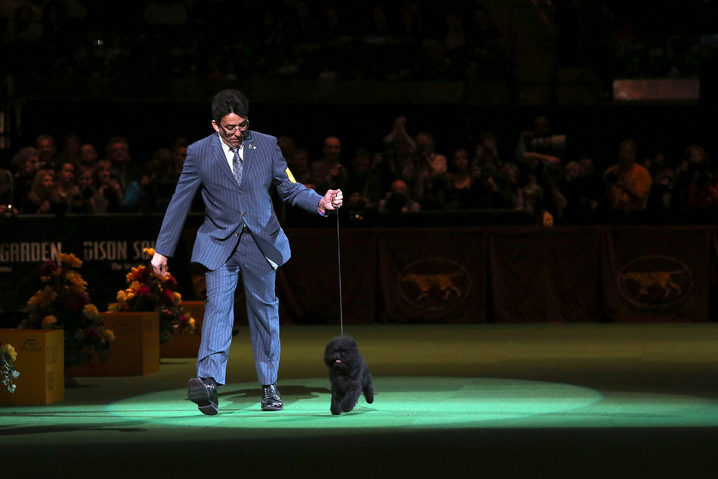 Description of . Ernesto Lara presents Banana Joe, an affenpinscher, during the Best in Show competition at the 137th Westminster Kennel Club dog show, Tuesday, Feb. 12, 2013, at Madison Square Garden in New York. (AP Photo/Mary Altaffer)