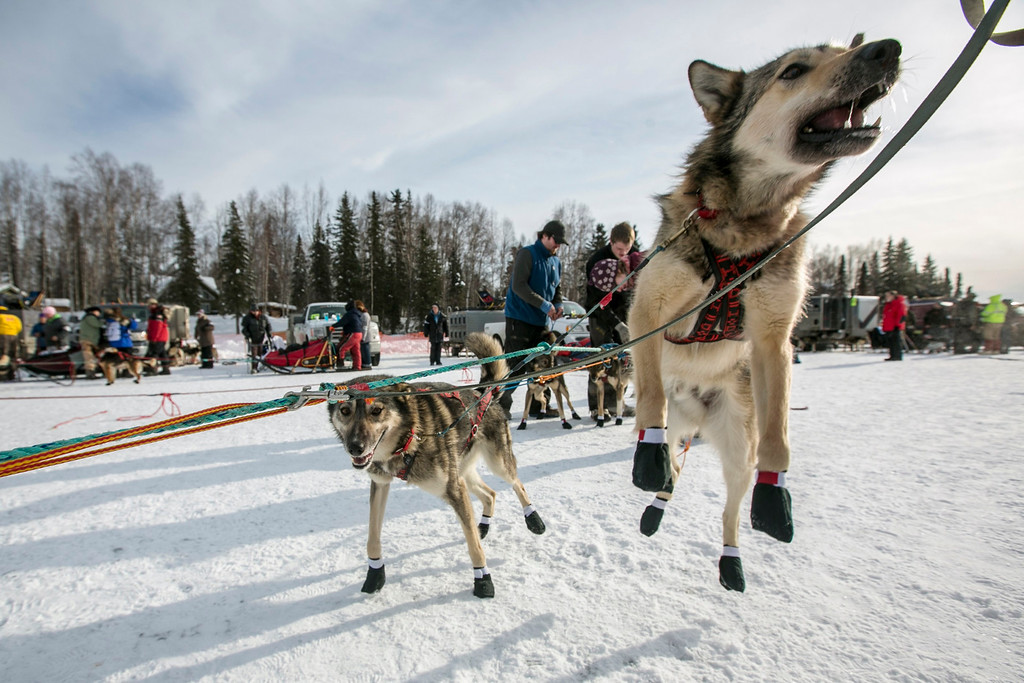 Description of . A dog from Jeff King's team leaps before it hits the trail at the re-start of the Iditarod dog sled race in Willow, Alaska  March 3, 2013. From Willow, the race runs for almost 1000 miles as it crosses the state.   REUTERS/Nathaniel Wilder