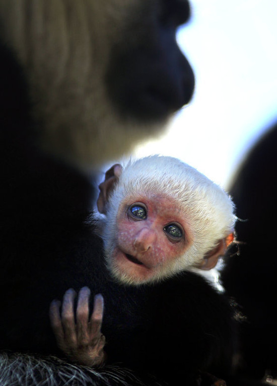 ". A baby Colobus monkey born early Thursday morning, March 8, 2010 is held by her mother, Jabula, at Safari West in Santa Rosa, Calif. ""Colobus\"" means \""mutilated\"" in Greek, because they have no prominent thumb. They live high in the tree tops, so the thumb gets in the way of their long fingers as they launch themselves from branch to branch. (AP Photo/The Press Democrat, John Burgess)"