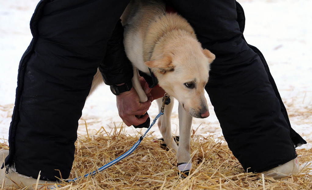 . Matt Giblin puts booties on leader Kenya before leaving the Finger Lake checkpoint in Alaska during the Iditarod Trail Sled Dog Race on Monday, March 4, 2013. (AP Photo/The Anchorage Daily News, Bill Roth)