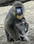 Baby Mandrill, Blanca, is fed by her mother, Bunny, at Bioparco Zoo in Rome. Blanca weighted around a half a kilo at birth. After a gestation period of 220 days, females give birth to one infant. The skin colors of Mandrills brighten as the animal gets more excited.  (TIZIANA FABI/AFP/Getty Images)