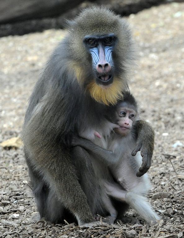 Description of . Baby Mandrill, Blanca, is fed by her mother, Bunny, at Bioparco Zoo in Rome. Blanca weighted around a half a kilo at birth. After a gestation period of 220 days, females give birth to one infant. The skin colors of Mandrills brighten as the animal gets more excited.  (TIZIANA FABI/AFP/Getty Images)