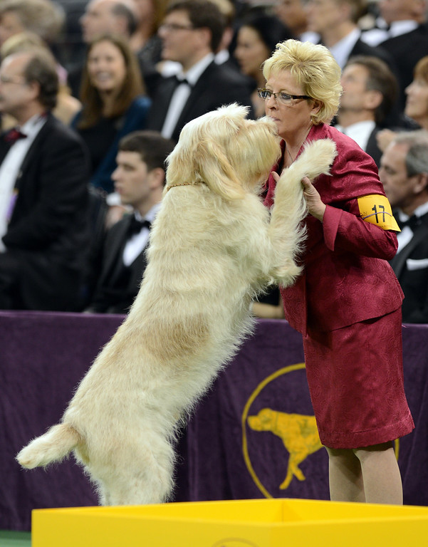 Description of . A Spinoni Italiani greets its handler during the Sporting Group judging during the Westminster Kennel Club Dog Show February 12, 2013 at Madison Square Garden in New York.   STAN HONDA/AFP/Getty Images