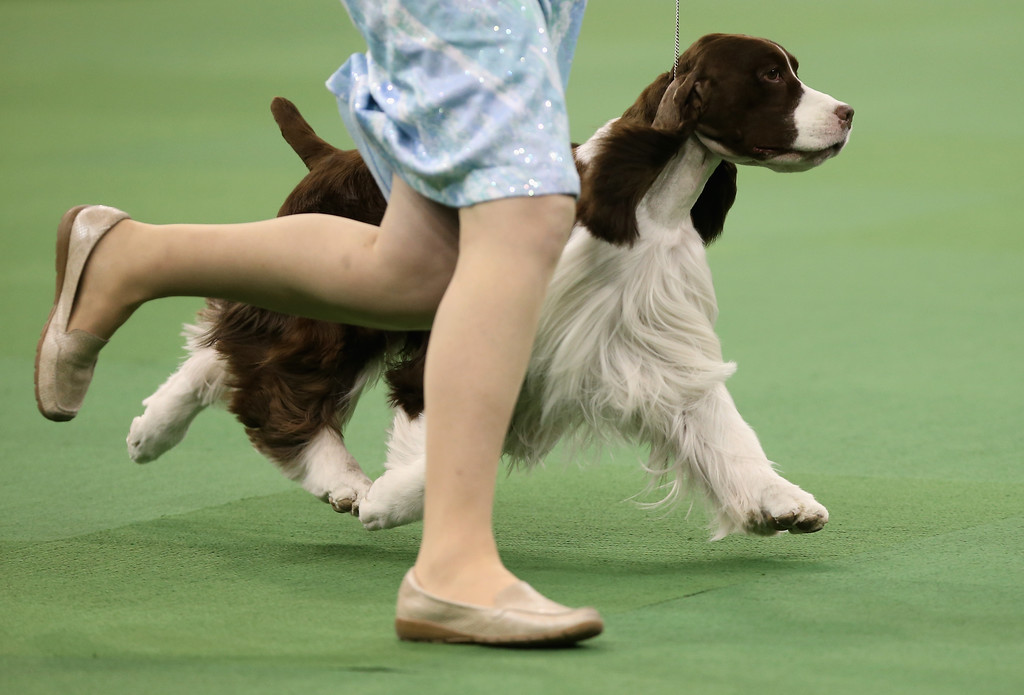 Description of . NEW YORK, NY - FEBRUARY 12:  A spaniel runs during the Sporting Group competition at the 137th Westminster Kennel Club Dog Show on February 12, 2013 in New York City. Best of breed dogs competed for Best in Show at Madison Square Garden Tuesday night. A total of 2,721 dogs from 187 breeds and varieties competed in the event, hailed by organizers as the second oldest sporting competition in America, after the Kentucky Derby.  (Photo by John Moore/Getty Images)