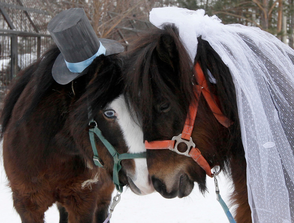 Description of . Male Shetland pony, Silver (L), and female, Zorka, are seen dressed up as a groom and bride at the Royev Ruchey Zoo, on the suburbs of Russia's Siberian city of Krasnoyarsk, February 14, 2013. Employees of the zoo arranged a wedding between the ponies to mark Valentine's day. REUTERS/Ilya Naymushin