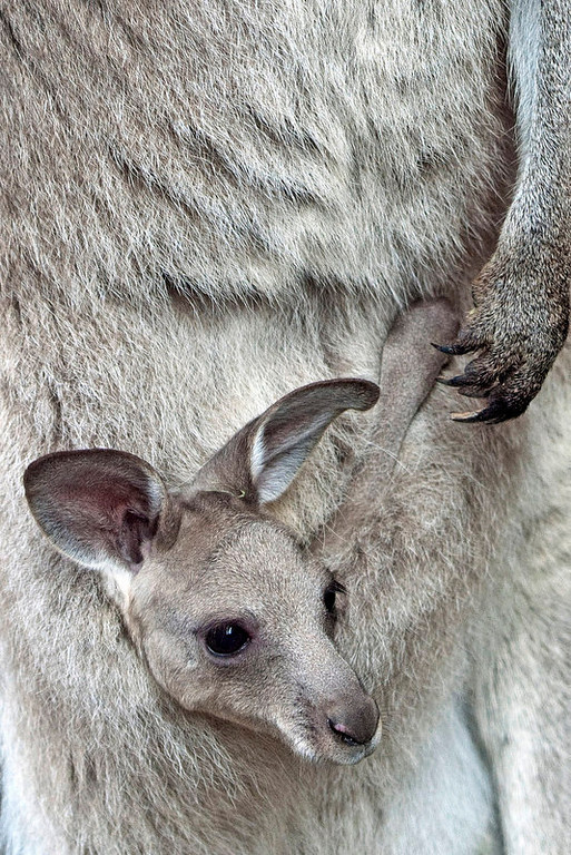 . A baby kangaroo looks out from his mother\'s pouch in the Erfurt zoo, central Germany, Thursday, March 8, 2012. (AP Photo/Jens Meyer)