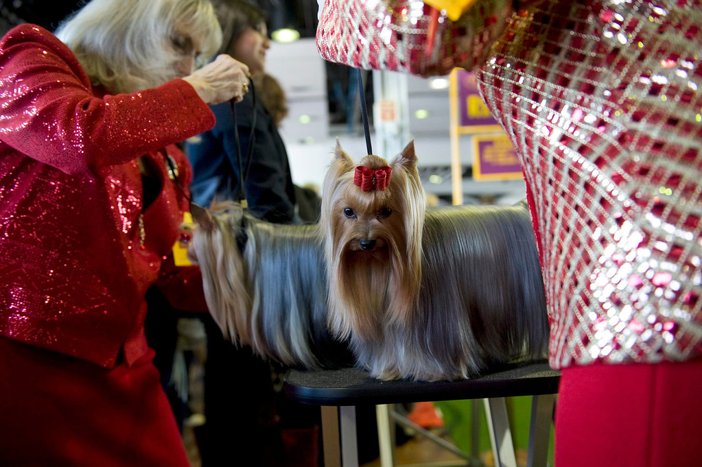 Description of . Yorkshire Terriers go through last minute prepping during the first day of the 138th Westminster Kennel Club Dog Show in New York, New York, USA, 10 February 2014. The annual dog show, which features dogs from all over the United States and around the world, is taking place from 10 to 11 February 2014.  EPA/STEPHEN CHERNIN