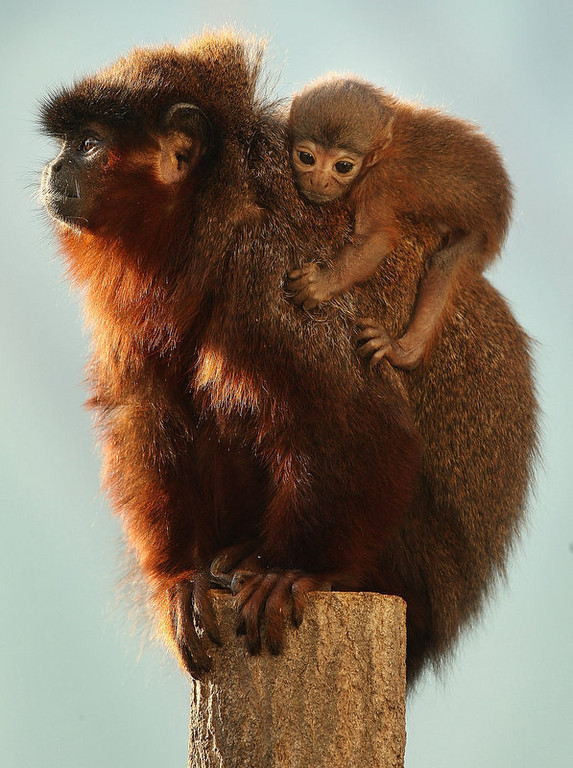 Description of . Vale, a four week old red titi monkey, sits on his dad Thiago's back in the rainforest biome at London Zoo in England. The tiny monkey was born to parents Yara and Thiago.  (Photo by Peter Macdiarmid/Getty Images)