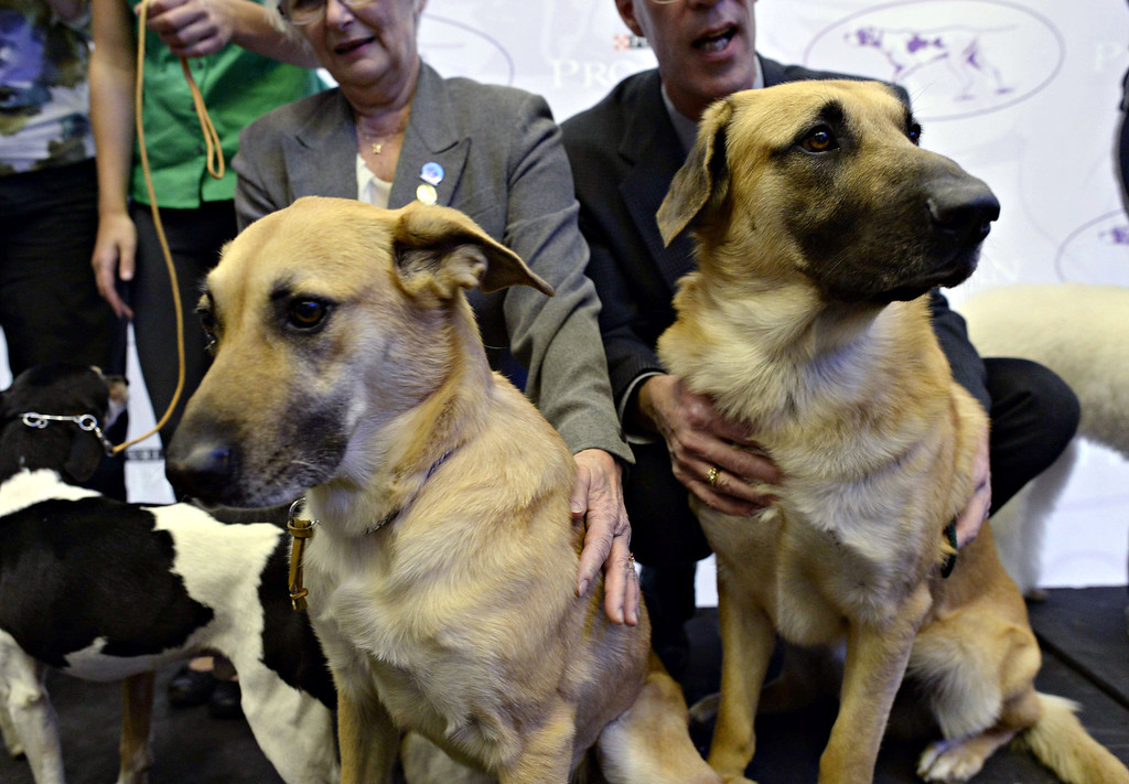 Description of . A pair of Chinook, one of three new breeds, meet the press during a press event at Madison Square Garden January 15, 2014 to promote the First-ever Masters Agility Championship at the 138th Annual Westminster Kennel Club Dog Show.   TIMOTHY CLARY/AFP/Getty Images