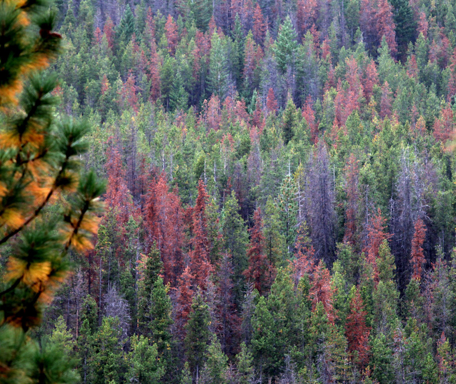Description of . This Oct. 14, 2011 photo shows  damaged pine trees from Bark Beatles in the Sawtooth Ridge area above the Methow Valley in the North Cascades, Wash. The beetles are whittling away at high-elevation trees once thought mostly safe from bugs.  (AP Photo/The Seattle Times, Steve Ringman)