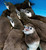 Baby penquins wait for their first check up in a plastic bin at the San Francisco Zoo. Zoo and Animal staff pulled eight five-week-old Magellanic penguin chicks from their parents burrows for medical examinations.  (AP Photo/San Francisco Chronicle, Deanne Fitzmaurice)
