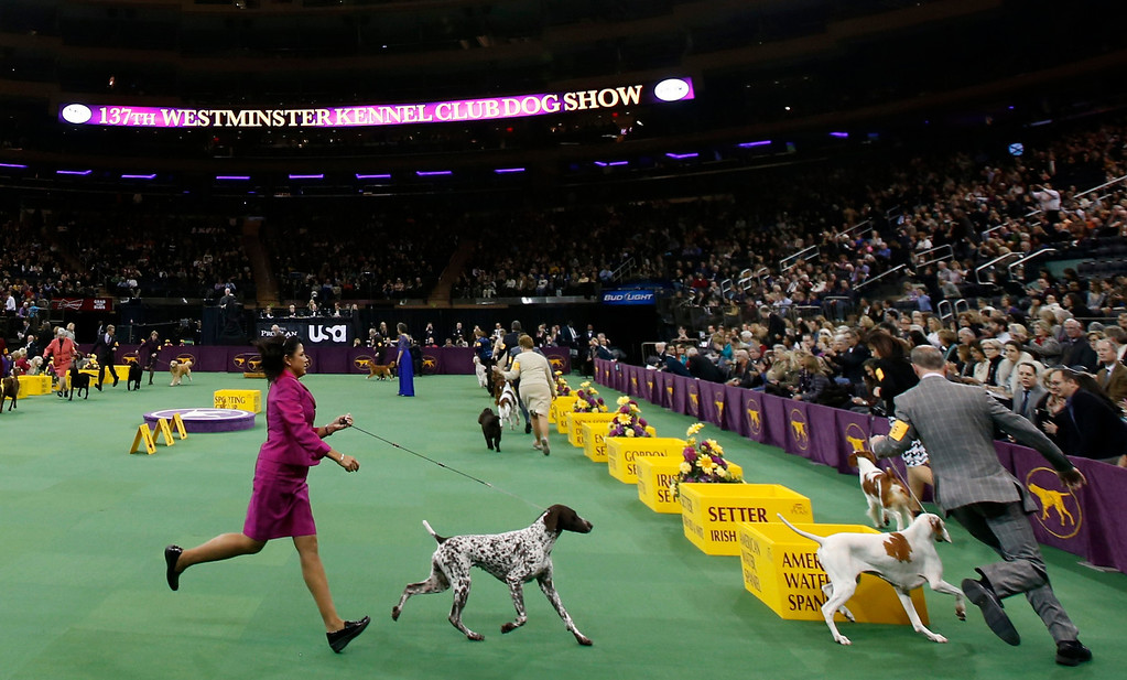 Description of . Dogs in the Sporting Group run with handlers at the 137th Westminster Kennel Club Dog Show at Madison Square Garden in New York, February 12, 2013.  REUTERS/Mike Segar