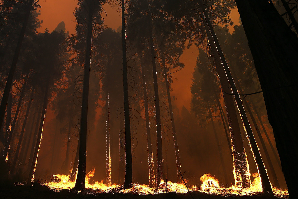 Description of . BUCK MEADOWS, CA - AUGUST 21:  Fire consumes trees along US highway 120 as the Rim Fire burns out of control on August 21, 2013 in Buck Meadows, California. The Rim Fire continues to burn out of control and threatens 2,500 homes outside of Yosemite National Park. Over 400 firefighters are battling the blaze that is only 5 percent contained.  (Photo by Justin Sullivan/Getty Images)