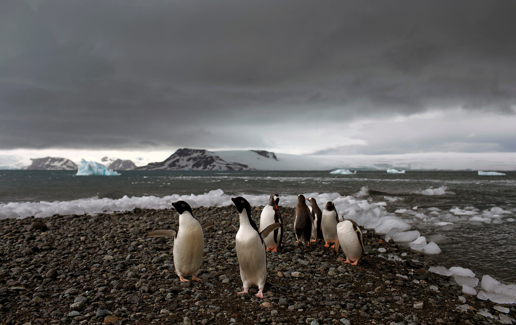 Description of . In this Jan. 27, 2015 photo, penguins walk on the shore of Bahia Almirantazgo in Antarctica.