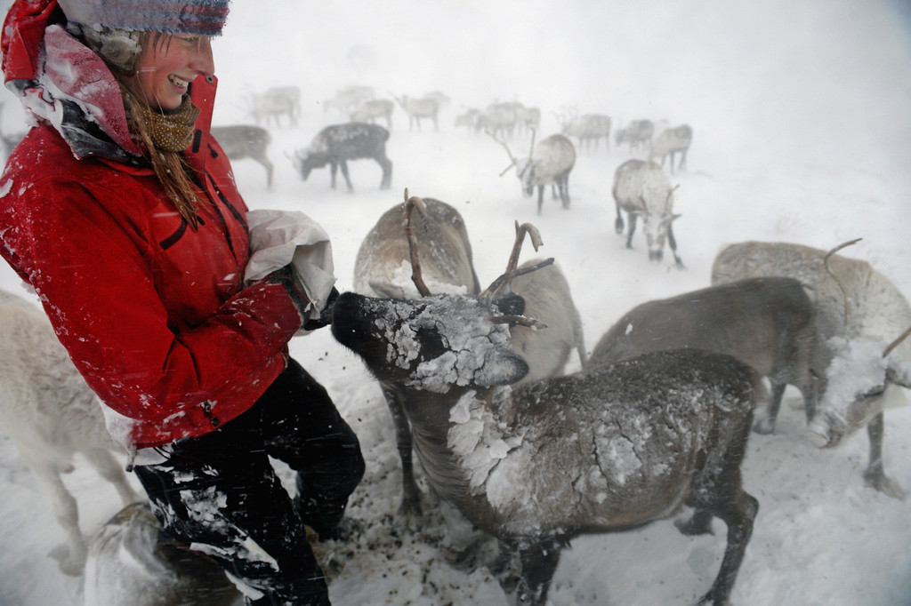 Description of . Eve Grayson, a Reindeer herder of the Cairgorm Reindeer Herd, feeds the deer on December 23, 2013 in Aviemore, Scotland.  (Photo by Jeff J Mitchell/Getty Images)