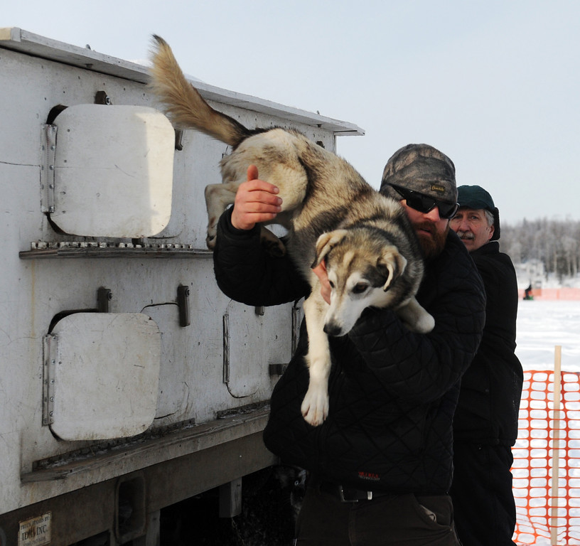Description of . James Volek pulls one on his dogs out of a truck before the Iditarod Trail Sled Dog Race, Sunday, March 3, 2013, in Willow, Alaska. 65 teams will be making their way through punishing wilderness toward the finish line in Nome on Alaska's western coast 1,000 miles away. (AP Photo/The Anchorage Daily News, Bob Hallinen)