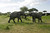 Two elephants give each other a welcome greeting in Tarangire National Park, Tanzania, Africa.