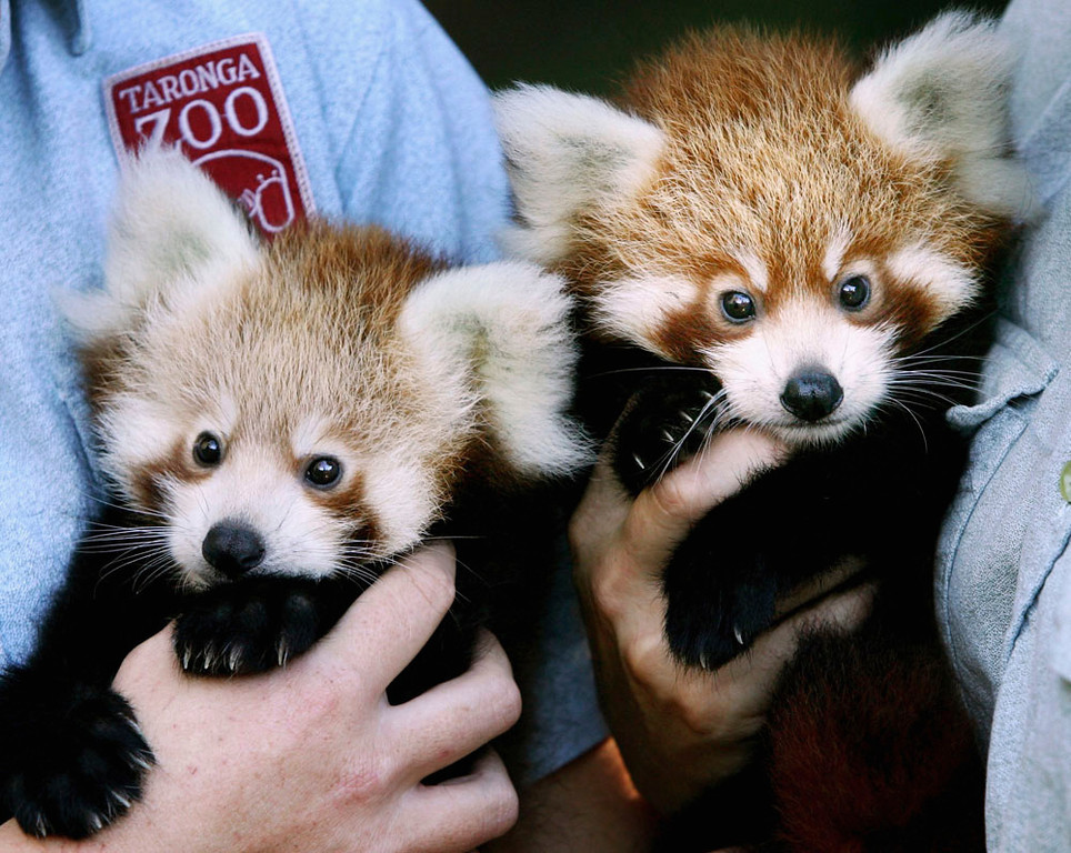 """. Twin two-month-old Red Panda cubs \""""Tenzin\"""" (R) and \""""Jishnu\"""" make their debut at Taronga Zoo March 28, 2007 in Sydney, Australia. The rare cub twins, born in January, have just begun to emerge from their nestbox. The Red Panda cubs are a result of the international breeding program for the endangered species, with Taronga Zoo producing 43 cubs since 1977.  (Photo by Ian Waldie/Getty Images)"""