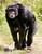 The nine-year-old chimpanzee