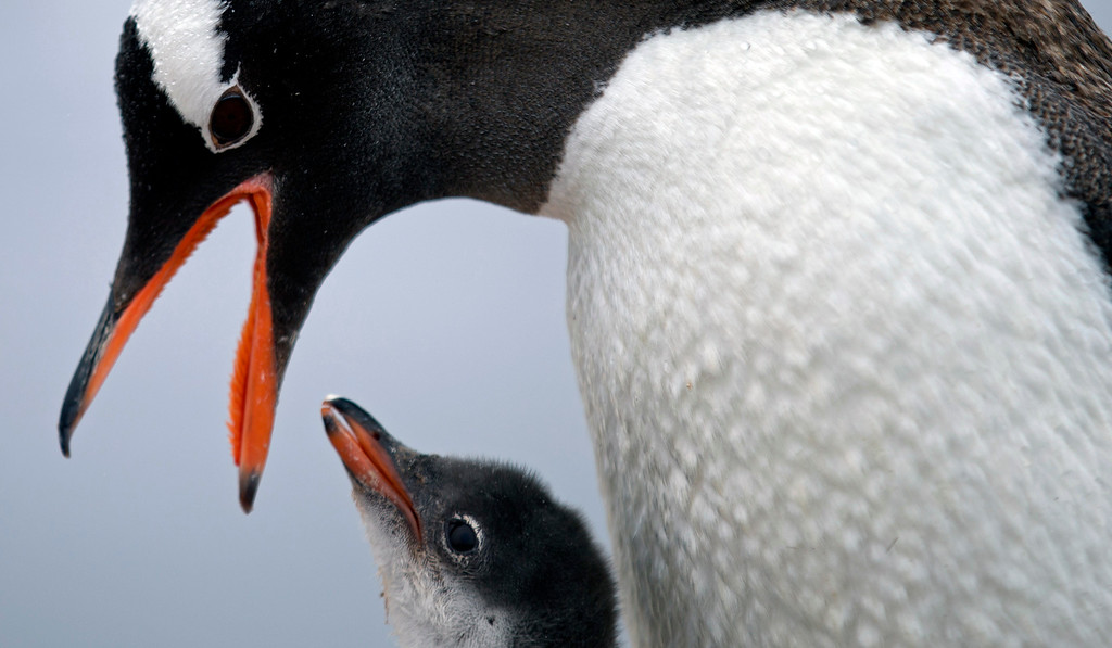 Description of . In this Jan. 22, 2015 photo, a Gentoo penguin feeds its baby at Station Bernardo O'Higgins in Antarctica.