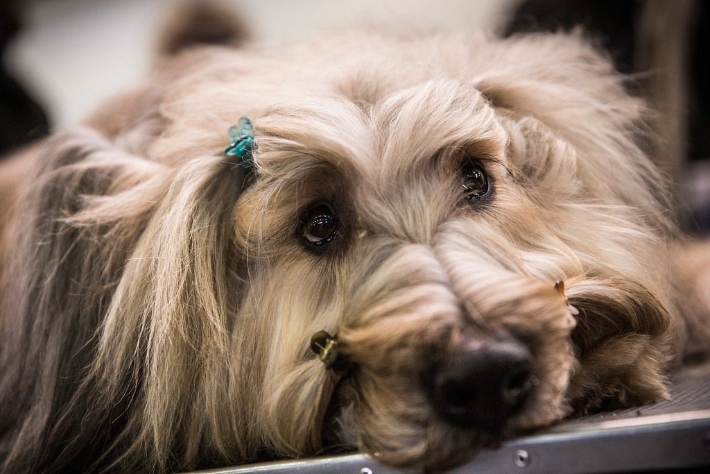 """Description of . A Briard named \""""Cagney\"""" waits with hairclips in during the 138th annual Westminster Dog Show at the Piers 92/94 on February 10, 2014 in New York City. The annual dog show showcases the best dogs from around world for the next two days in New York.  (Photo by Andrew Burton/Getty Images)"""