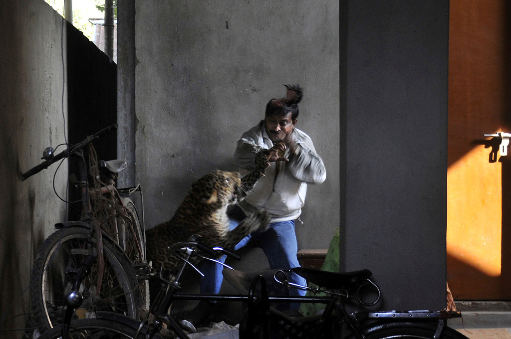 Description of . In this Jan. 7, 2012 file photo, a wild full grown leopard scalps the head of a man as it attacks after wandering into a residential neighborhood in Gauhati, in the northern state of Assam, India. Later the leopard was tranquilized by wildlife official and taken to the state zoological park. The leopard ventured into a crowded area and injured four people before it was captured and caged. (AP Photo/Manas Paran, File)