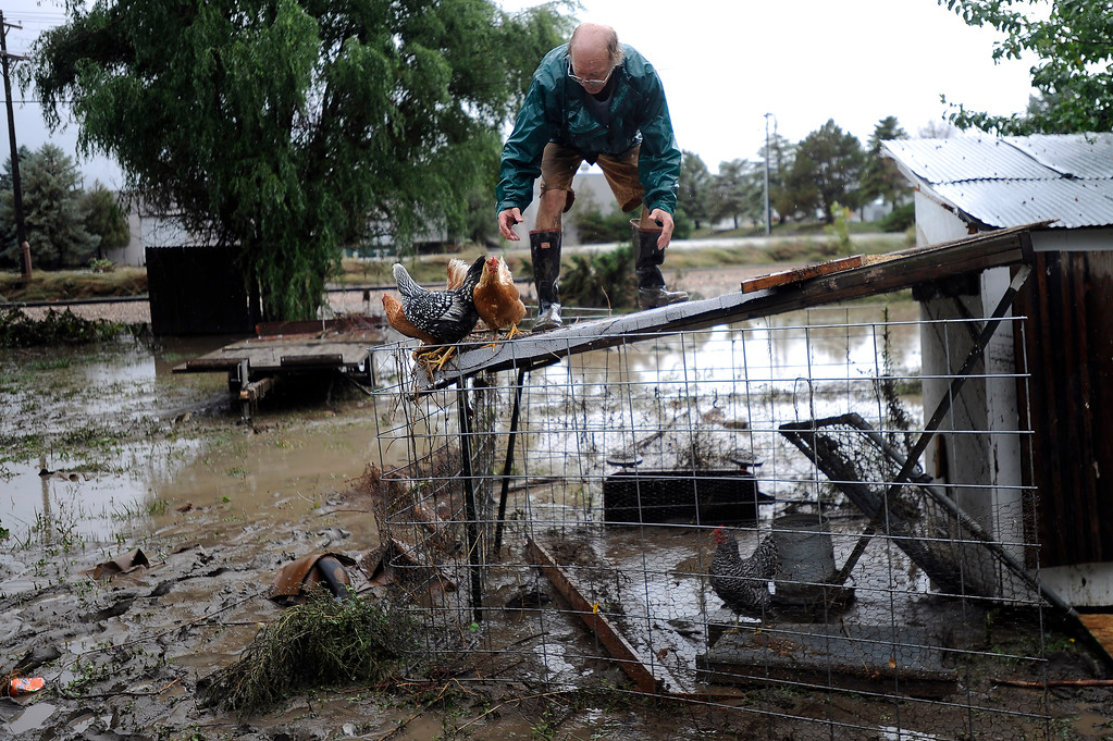 Description of . LONGMONT, CO - SEPTEMBER 15: Jimmy Walker works to remove four chickens from the roof of a shed and put them back in their coop in the backyard of a home along Bowen Ave in Longmont, Colorado on September 15, 2013. Heavy rains on Sunday continued to hamper recovery efforts in flood ravaged Northern Colorado. (Photo by Seth McConnell/The Denver Post)