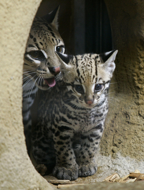 Description of . A still nameless young ocelot stands beside his mother Estancia at their enclosure of the Hellabrunn zoo in Munich, southern Germany. The baby ocelot was 80 days old at the time.     (LENNART PREISS/AFP/Getty Images)