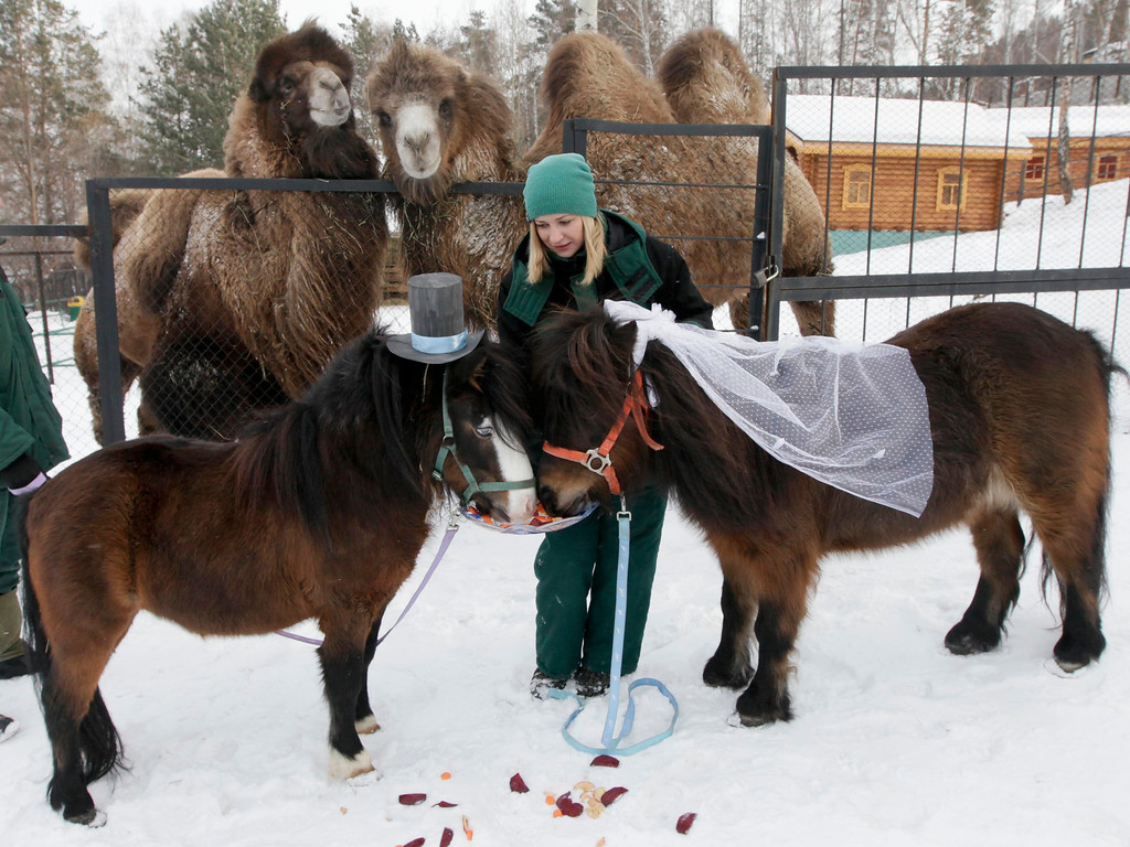. Camels watch as an employee of Royev Ruchey Zoo feeds treats to male Shetland pony, Silver (L), and female, Zorka, dressed up as a groom and bride at the suburbs of Russia\'s Siberian city of Krasnoyarsk, February 14, 2013.  REUTERS/Ilya Naymushin