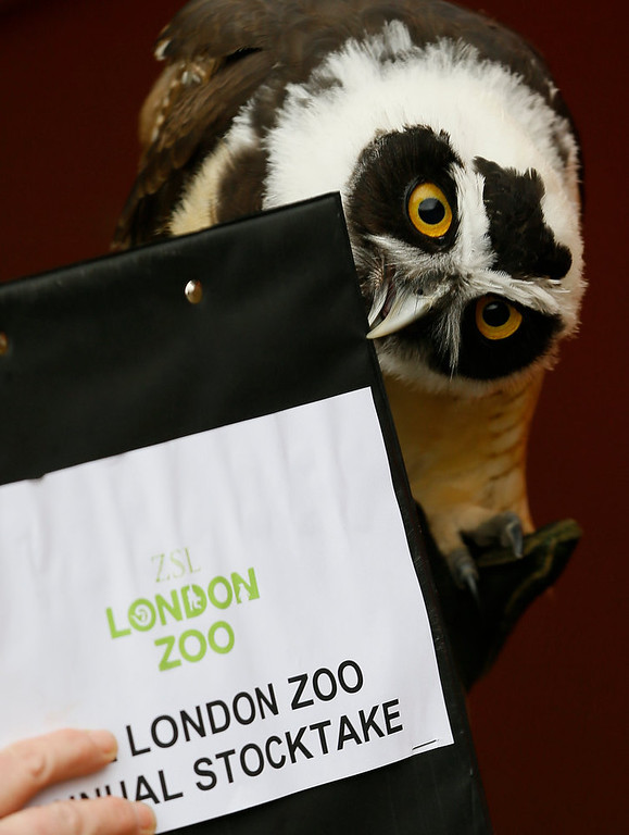 Description of . A Spectacled Owl nips a clipboard during a photo call for the annual stock take at London Zoo, Thursday, Jan. 3, 2013. More than 17,500 animals including birds, fish, mammals, reptiles and amphibians are counted in the annual stock take at the zoo. (AP Photo/Kirsty Wigglesworth)
