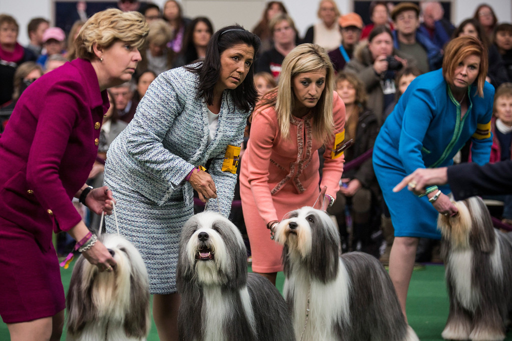Description of . Old English Sheep Dogs compete in the 138th annual Westminster Dog Show at the Piers 92/94 on February 10, 2014 in New York City. The annual dog show showcases the best dogs from around world for the next two days in New York.  (Photo by Andrew Burton/Getty Images)