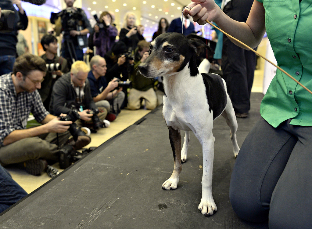 Description of . A Rat Terrier, one of three new breeds, meets the press during a press event at Madison Square Garden  January 15, 2014 to  promote the First-ever Masters Agility Championship at the 138th Annual Westminster Kennel Club Dog Show.    TIMOTHY CLARY/AFP/Getty Images