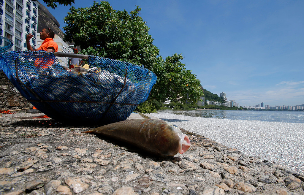 Description of . A dead fish is seen next to the Rodrigo de Freitas lagoon in Rio de Janeiro, March 13, 2013. T REUTERS/Sergio Moraes