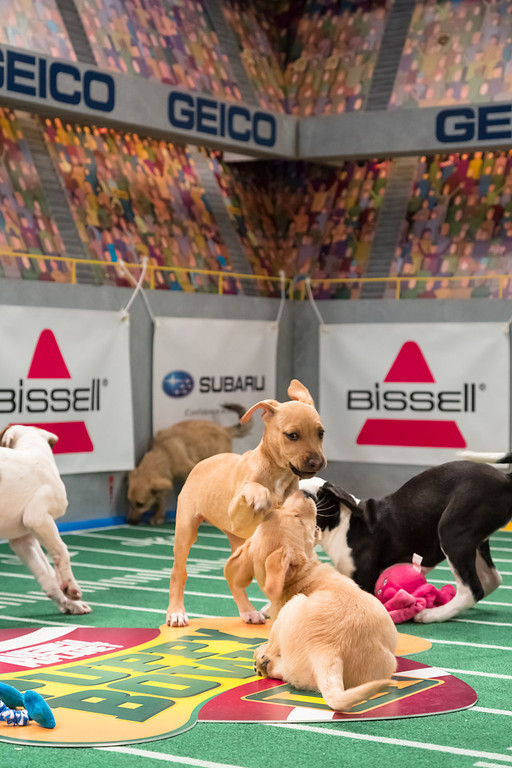 Description of . Dogs playing on the field during Puppy Bowl IX(Photo credit: Animal Planet)