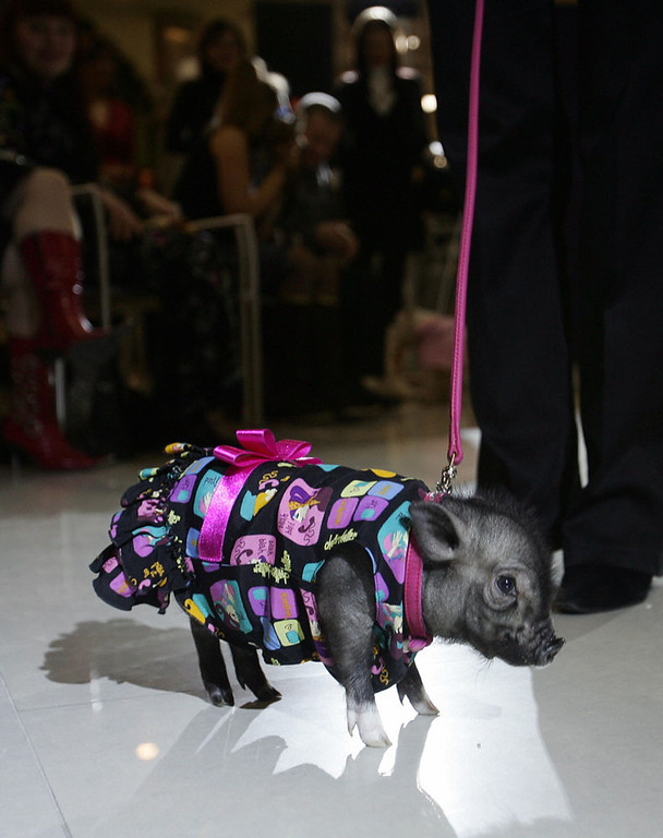 Description of . Kiev, UKRAINE:  A piglet displays clothes during  the Animals Fashion Show in one of elite women\'s club of Kiev l 18 January, 2007. AFP PHOTO/ SERGEI SUPINSKY