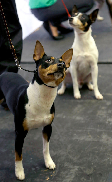 . A rat terrier is introduced during a news conference in New York, Wednesday, Jan. 15, 2014. The rat terrier is one of three new breeds that will be competing at the 138th Westminster Dog Show starting Feb. 10, 2014. (AP Photo/Seth Wenig)
