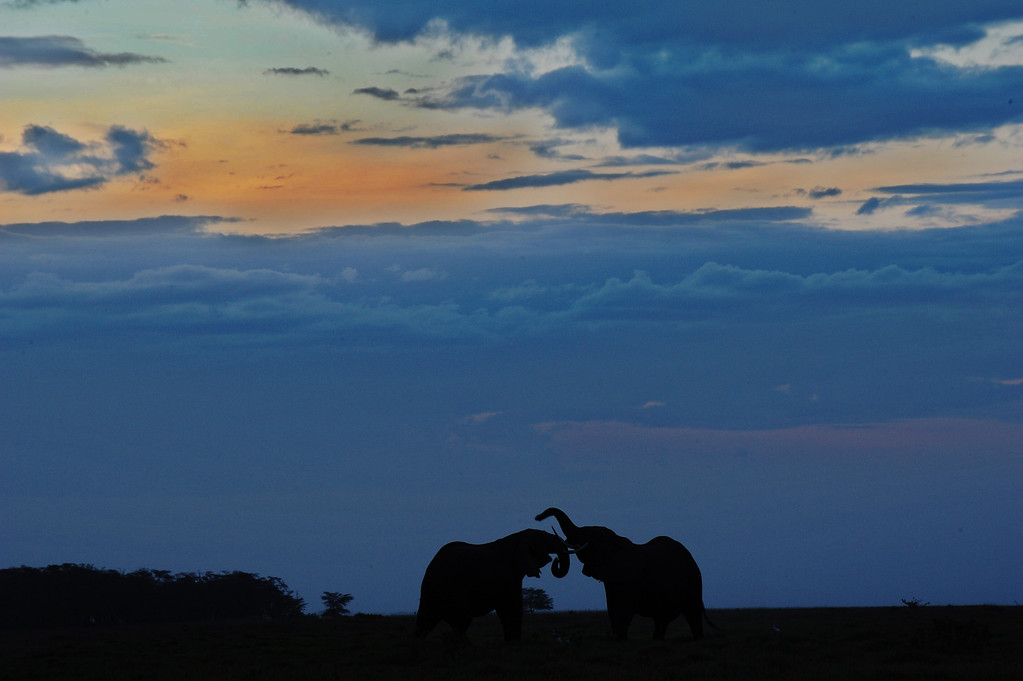 Description of . Elephants are seen at sunset on October 7, 2013 at Amboseli National Park, approximately 220 kms southeast of Nairobi. Kenyan and Tanzanian governments started on October 7 a joint aerial count of elephants and other large mammals in the shared ecosystem of the Amboseli-West Kilimanjaro and Natron- Magadi landscape. The one-week exercise, cost 104,000 US dollars, is a collaboration between the two countries and the Kenya  Wildlife Service (KWS), Tanzania Wildlife Research Institute (TAWIRI) and the African Wildlife Foundation (AWF) among others. TONY KARUMBA/AFP/Getty Images