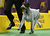 German Wirehaired Pointer Gch Mt. View's Ripsortersilvercharm runs during the Sporting Group competition at the 137th Westminster Kennel Club Dog Show on February 12, 2013 in New York City. Best of breed dogs competed for Best in Show at Madison Square Garden Tuesday night. A total of 2,721 dogs from 187 breeds and varieties competed in the event, hailed by organizers as the second oldest sporting competition in America, after the Kentucky Derby.  (Photo by John Moore/Getty Images)