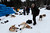 Four-time Iditarod champion Jeff King takes care of his dogs after arriving in Anvik, Alaska, on Friday, March 8, 2013, during the Iditarod Trail Sled Dog Race. (AP Photo/Anchorage Daily News, Bill Roth)