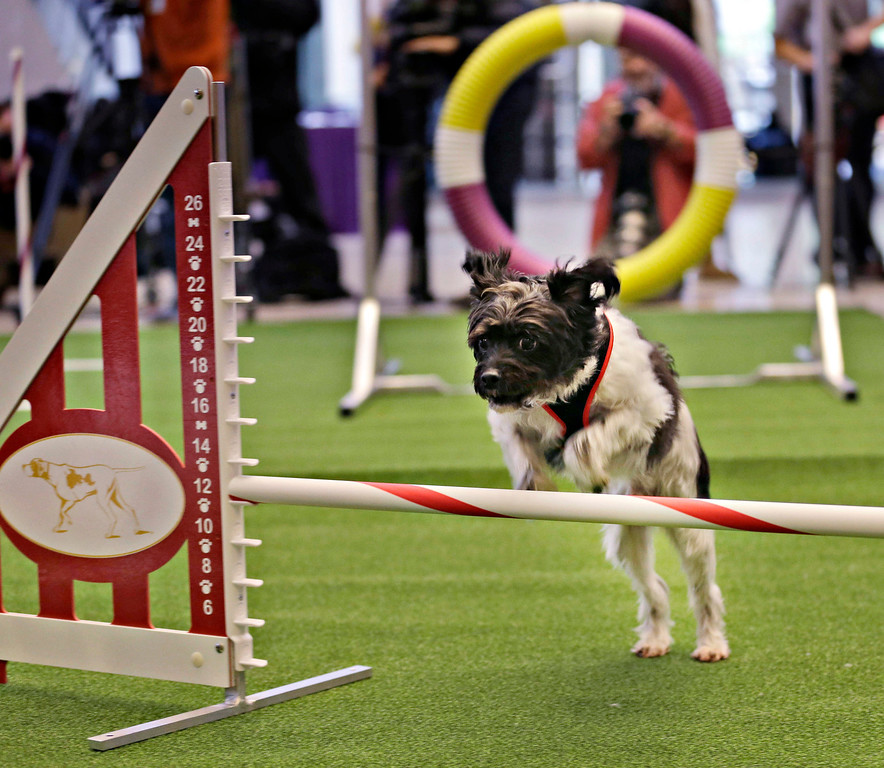 . Alfie, a mixed breed, demonstrates his mastery of an agility test during a news conference in New York, Wednesday, Jan. 15, 2014. For the first time ever, the Westminster Dog Show will include an agility competition, open to mixed breeds as well as purebred dogs.  (AP Photo/Seth Wenig)