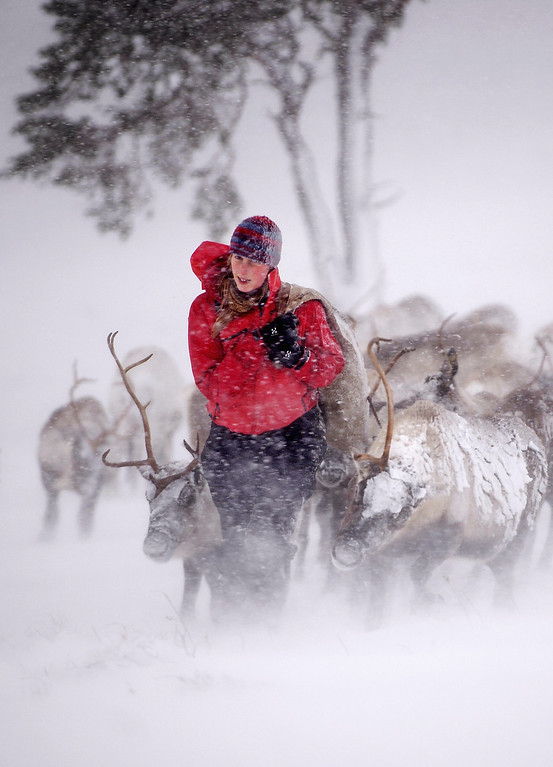 Description of . Eve Grayson, a Reindeer herder at the Cairngorm Herd, feeds the deer on December 23, 2013 in Aviemore, Scotland.  (Photo by Jeff J Mitchell/Getty Images)