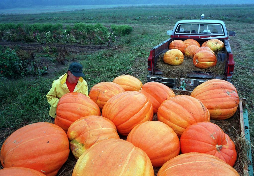 Description of . Farmer Wayne Woodard has 100-pound pumpkins for sale at a roadside stand in New Milford, Conn., Sunday, Sept. 22, 1996. (AP Photo/Mark Lennihan)